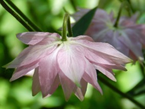 Akelei-roze03